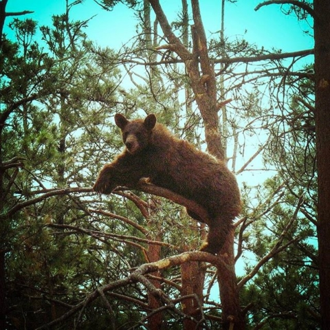 A Brown Bear in the Woods