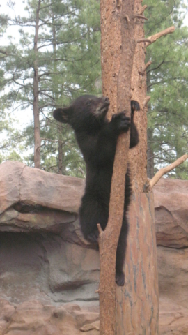 Baby Black Bear at the Zoo